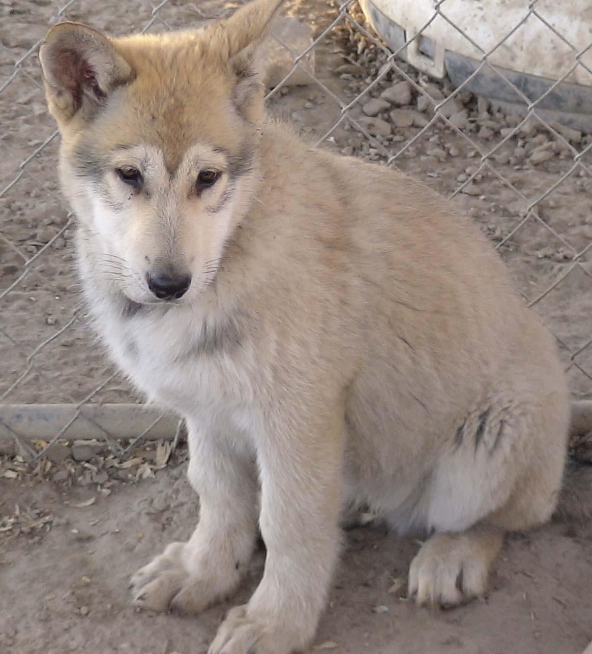 Laurel Mountain Wolf Hybrid Puppies