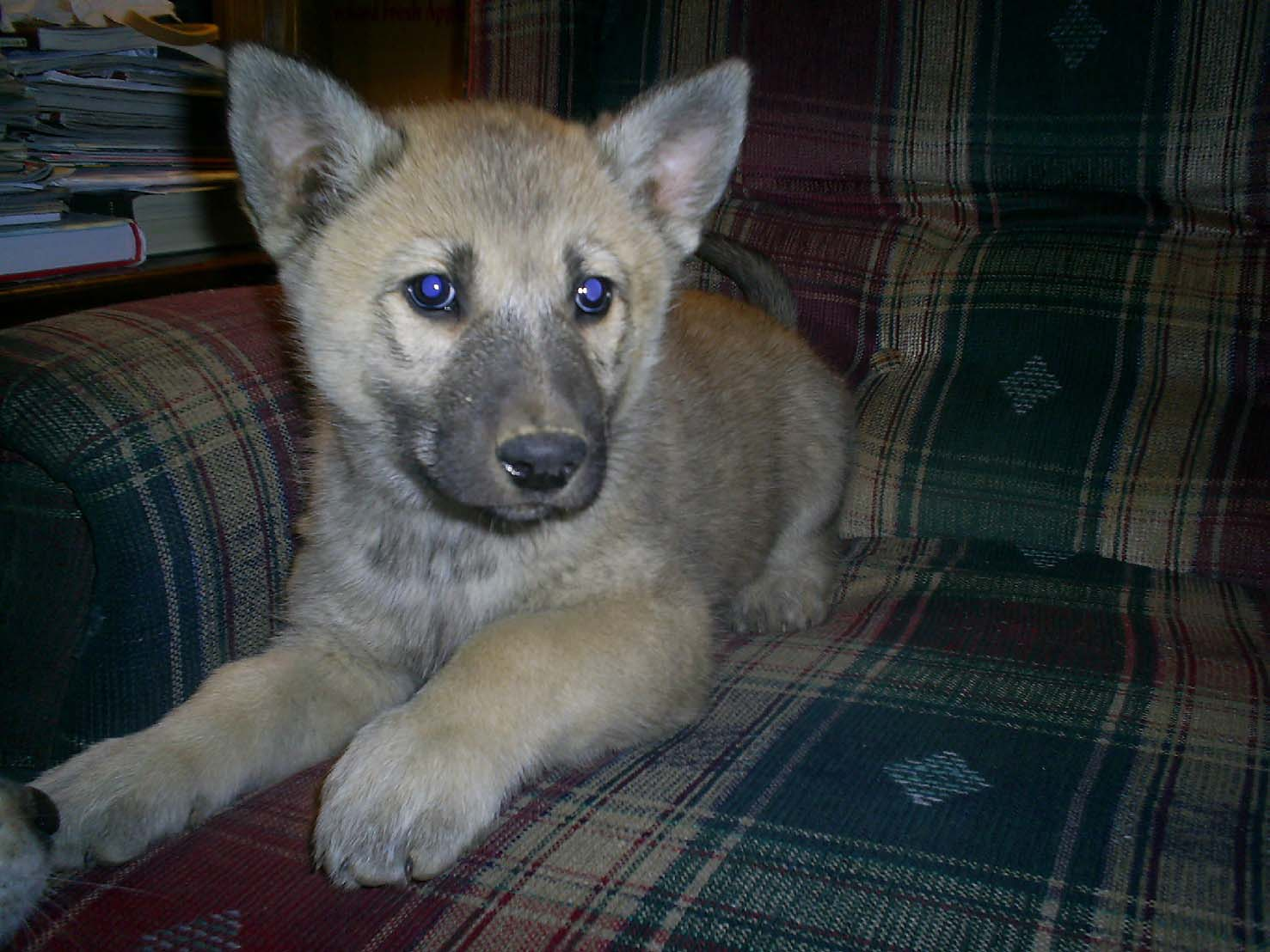 Timber Wolf Hybrid Puppies