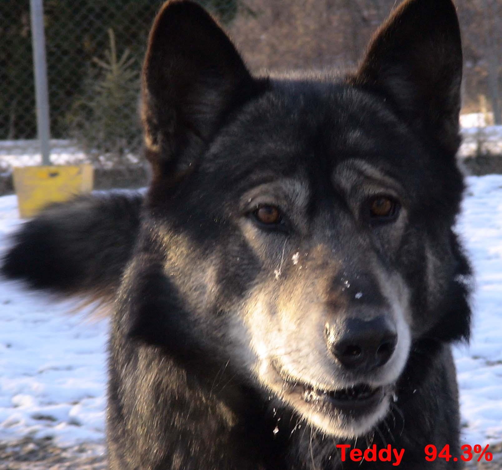 Mackenzie Valley Wolf Laurel mountain wolf hybrid